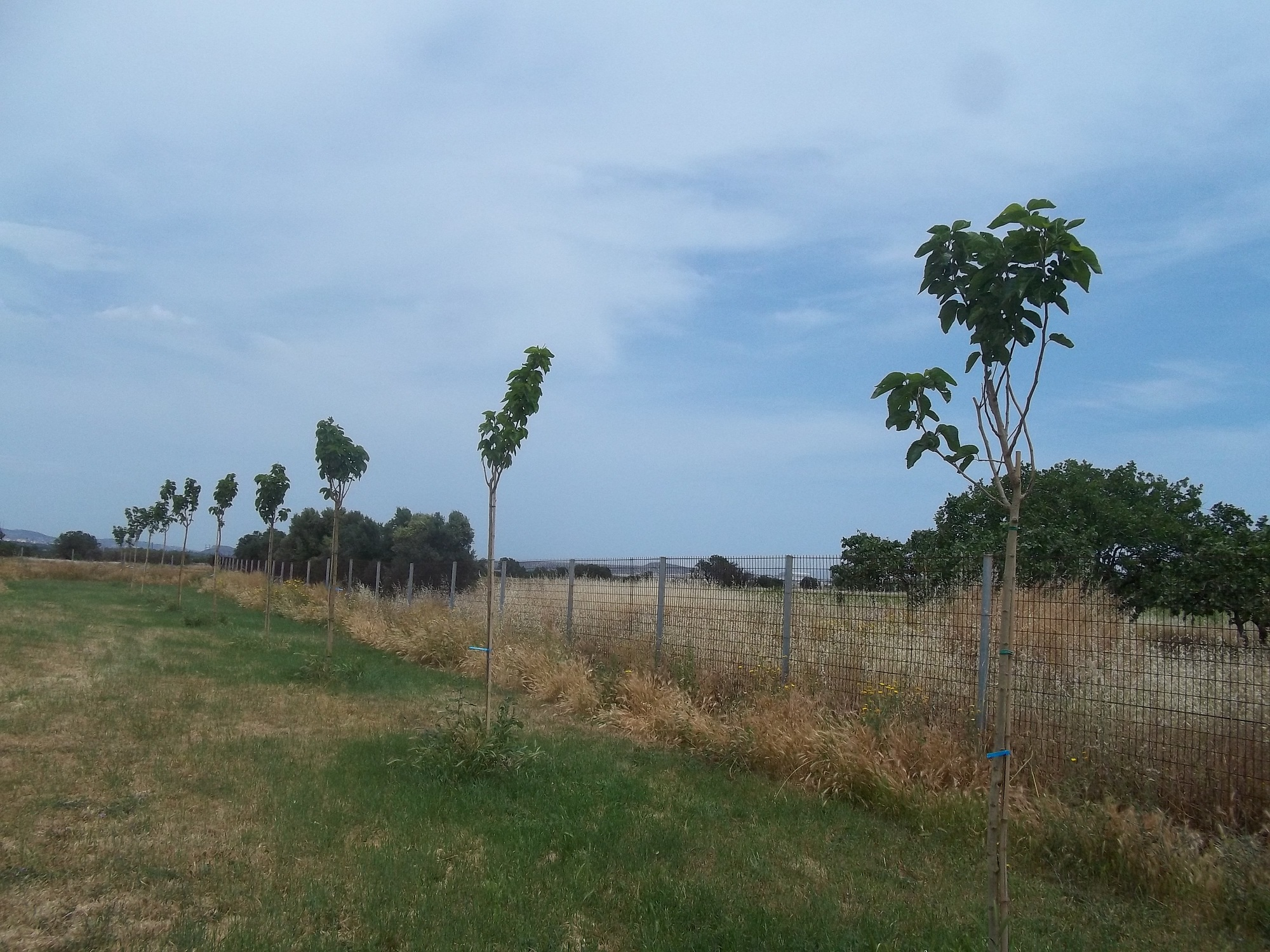 Χορηγία δέντρων από τον Δήμο Παλλήνης