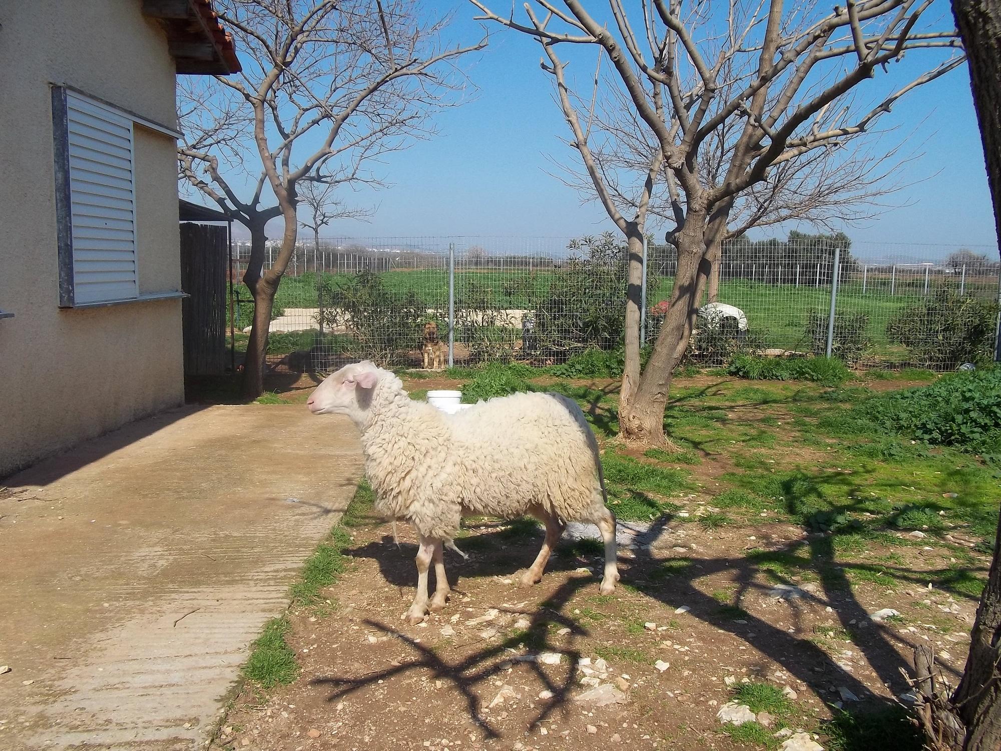 Η προβατίνα Lady ζει και βασιλεύει