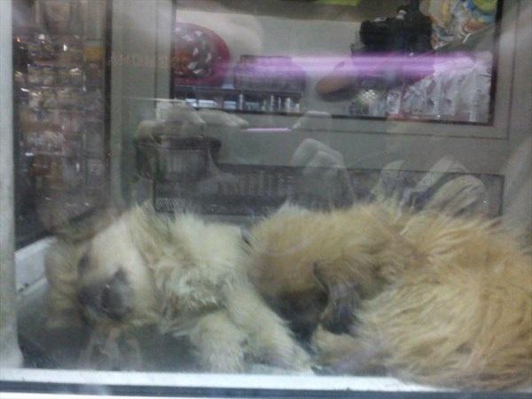 Νεκρό κουτάβι σε βιτρίνα pet shop