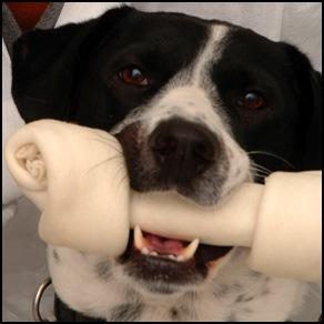 Γιατί δεν πρέπει ο σκύλος να τρώει κόκκαλα