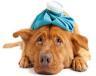 Η ερλιχίωση του σκύλου